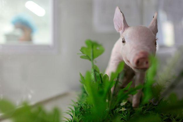 La Chine a déjà cloné des cochons par le passé.