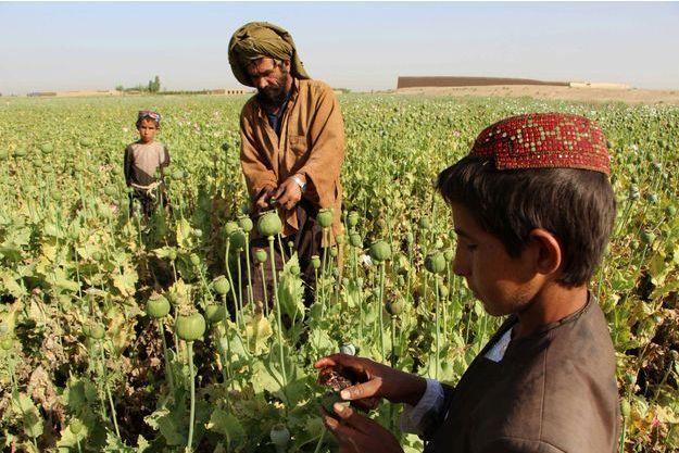 Fermiers qui récoltent du pavot, à Helmand le 11 avril 2017