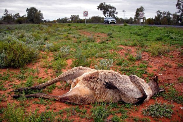 Un kangourou retrouvé mort en Australie (photo d'illustration)