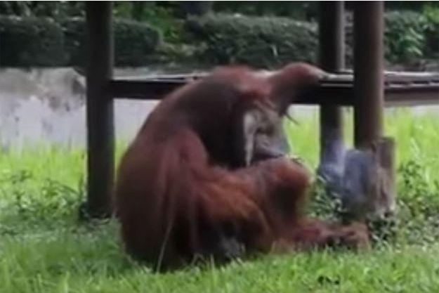Ozon, filmé en train de fumer une cigarette comme un vrai fumeur au zoo de Bandung.