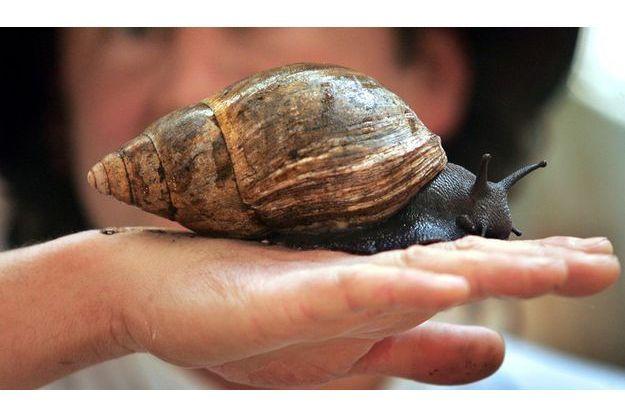 Un escargot pouvant mesurer jusqu'à 20 cm de long