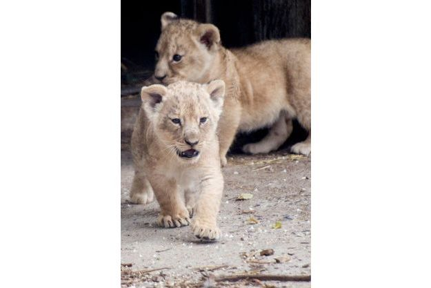 Les deux lionceaux du zoo de Copenhague sortent pour la première fois le 17 juillet 2013