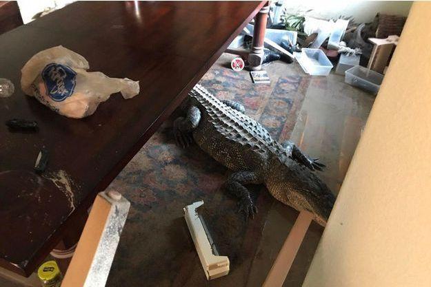 L'alligator de 3 mètres de long découvert dans un salon.