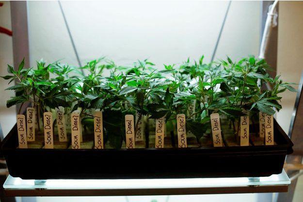 Des plants de marijuana dans un dispensaire de Los Angeles (image d'illustration).