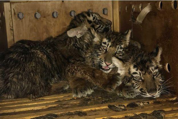 Rencontre bebe tigre