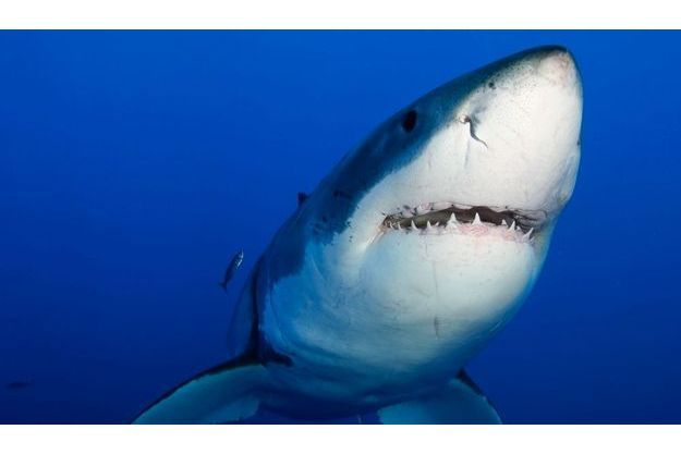 attaque grand requin blanc