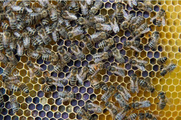 Des abeilles (photo d'illustration)