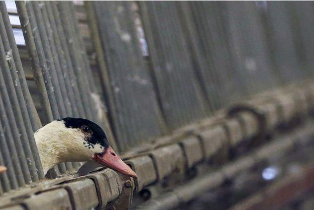 Un canard dans une volaillère du sud-ouest de la France - Illustration.