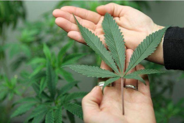 Une feuille de cannabis à l'état naturel.