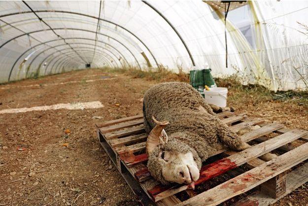 Mouton retrouvé égorgé