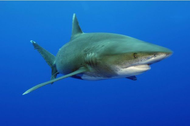 Requin blanc / photo d'illustration