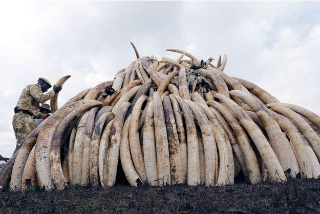 """Une """"pyramide"""" de défenses d'éléphants prises aux braconniers, au Kenya."""