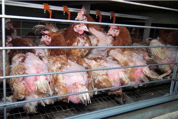Sur les images diffusées par L214, on voit des poules entassées.