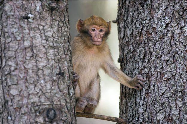 Illustration d'un macaque.