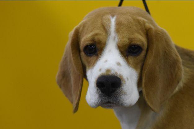 Neuf beagles destinés à des laboratoires ont été sauvés par la Spa.