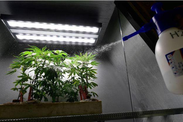 Le cannabis reste la drogue préférée des Français (image d'illustration)