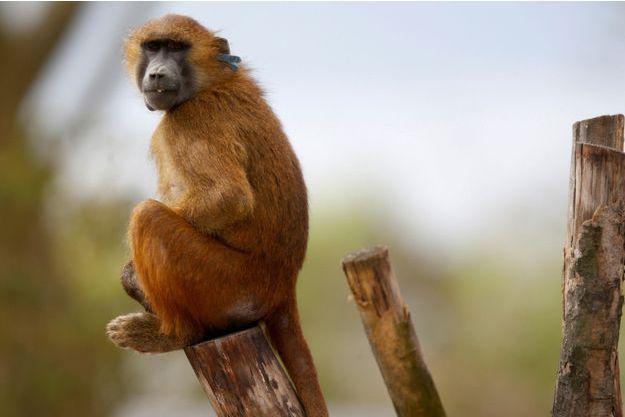 Un babouin du zoo de Vincennes. Image d'illustration.