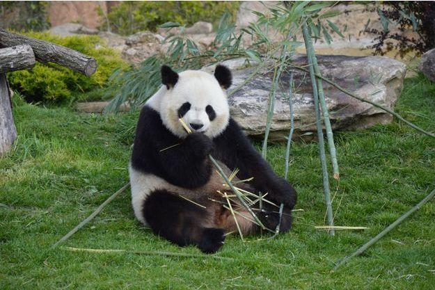 Huan Huan, la femelle panda du ZooParc de Beauval, pourrait attendre un petit.