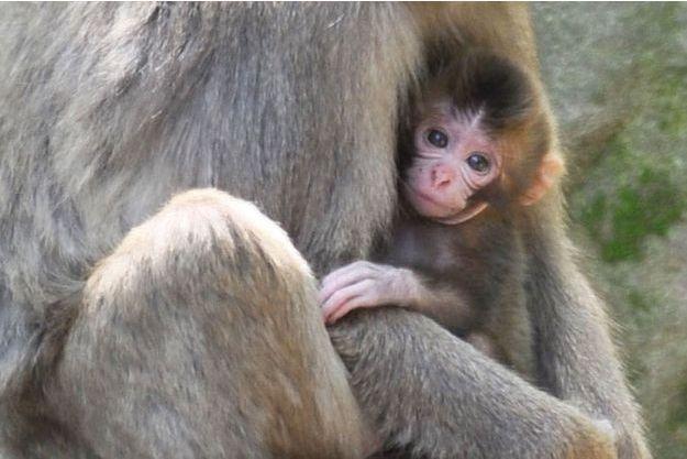 Charlotte, le petit singe du zoo de Takasakiyama, au Japon.