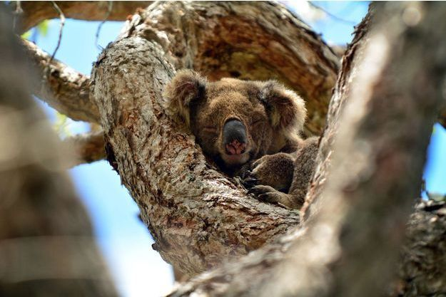 Un koala dormant dans un arbre au sein du Coombabah Lake Conservation Park, en Australie.