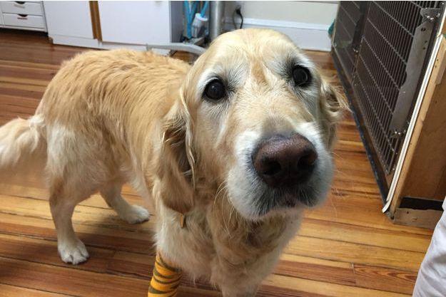 Figo, le chien guide qui a sauvé la vie de sa maîtresse.