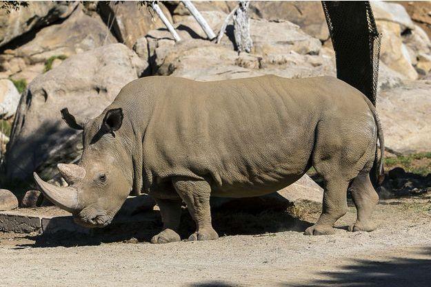 Angalifu, rhinocéros blanc du nord, est décédé à 44 ans.