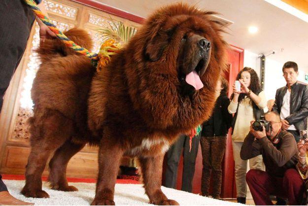 Voici l'espèce la plus chère du monde, le mastiff tibétain.