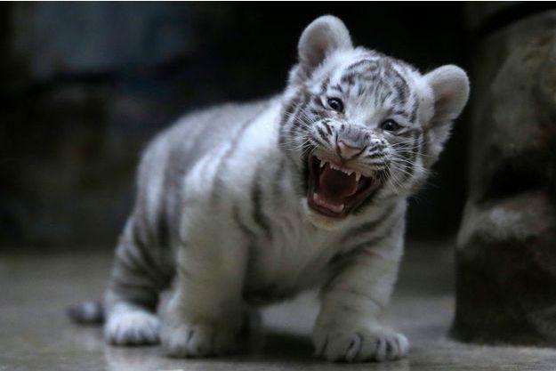 Un bébé tigre blanc en République tchèque. (Photo d'illustration).