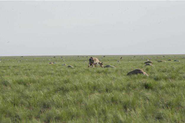 Une antilope saïga parmi les cadavres de ses congénères à Zholoba, au Kazakhstan.