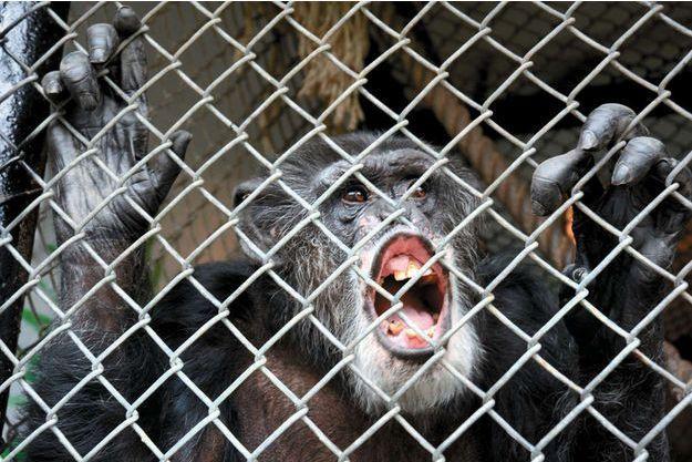 Tommy le chimpanzé vit dans une petite cage en ciment dans un abri sombre et froid sur un terrain pour caravanes.