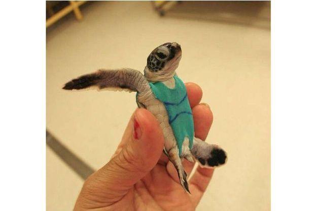 Une tortue portant son maillot de bain.