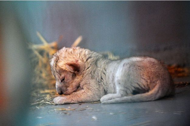 Hajar, le lionceau miraculé d'Alep