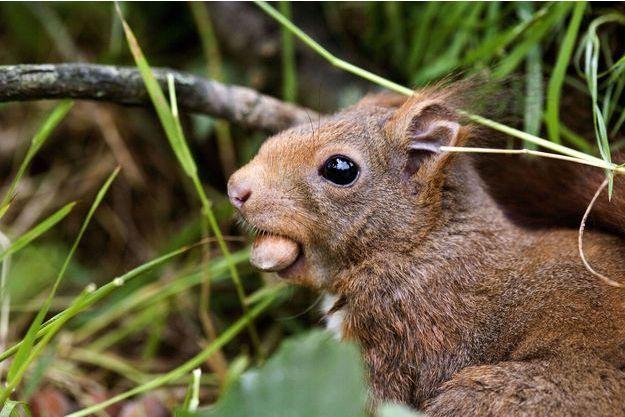 Un écureuil en plein repas en Normandie (image d'illustration).