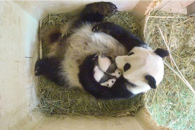 Deux petits pandas sont nés au zoo de Schoenbrunn de Vienne.