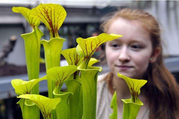 Les sucs digestifs de la Sarracenia dévorent le frelon asiatique.