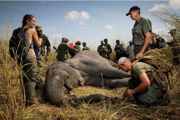 Fin mars, les biologistes Marina Monico (à g.), Pablo Schapira Perez (accroupi) et le vétérinaire Pete Morkel (à dr.) vérifi ent que l'éléphante assoupie respire normalement.
