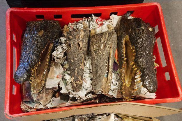 Des têtes de crocodiles saisies par la police de Rotterdam