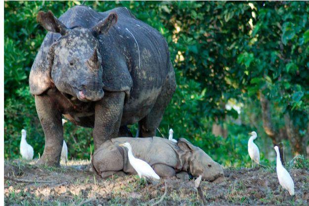 Les inondations ont tué 21 rhinocéros du parc Kaziranga en Inde