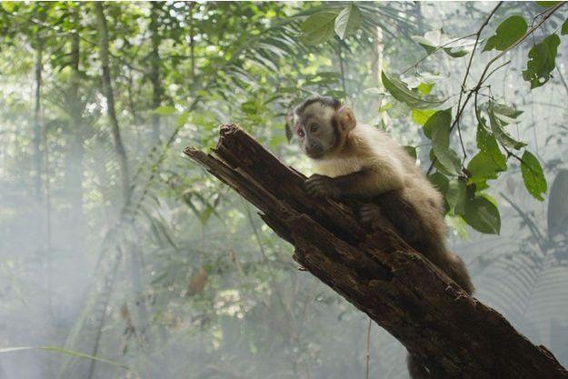 """Saï, le petit capucin d'""""Amazonia"""" de Thierry Ragobert."""