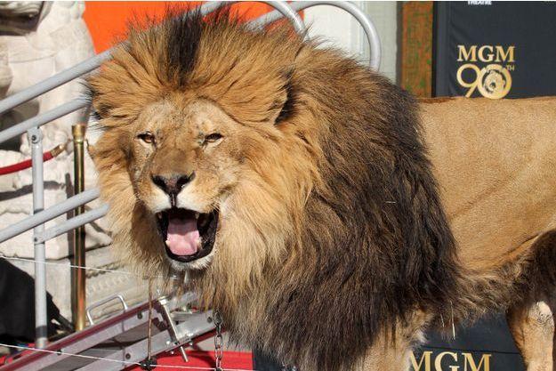 """""""Leo"""", le lion de la MGM a désormais son empreinte sur le célèbre Walk of Fame d'Hollywood."""