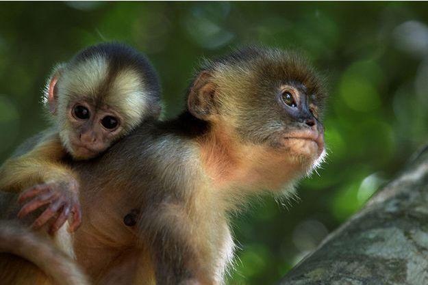 Une ode au combat pour la vie à travers le regard des capucins, les plus intelligents des singes. « Amazonia » sera en salle le 27 novembre.