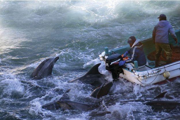 Baie de Taiji, le dernier regard d'un dauphin qui ne sait pas encore qu'il va mourir.
