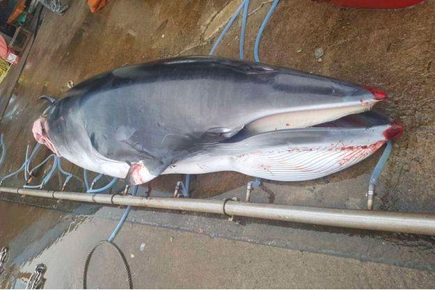 Une baleine de Minke morte.