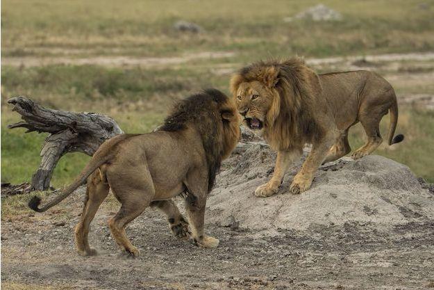 Cecil et son frère Jericho photographiés pendant une altercation ayant pour enjeu la suprématie sur le groupe de lions.