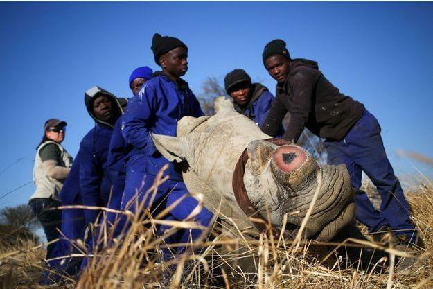 Dans le parc Kruger, des rangers ont endormi ce rhino pour lui prendre sa corne, afin d'éviter qu'il ne se fasse tuer par les braconniers.