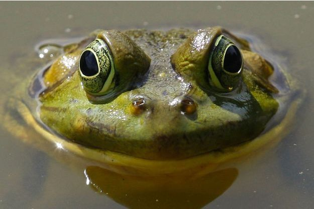 Une grenouille. (photo d'illustration)