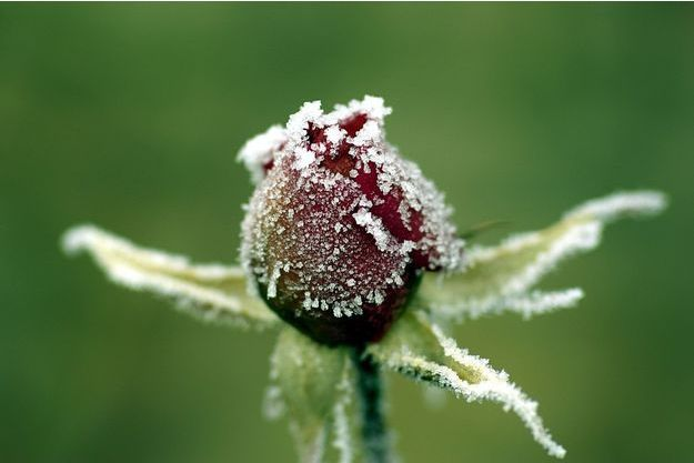 Illustration d'une rose gelée.