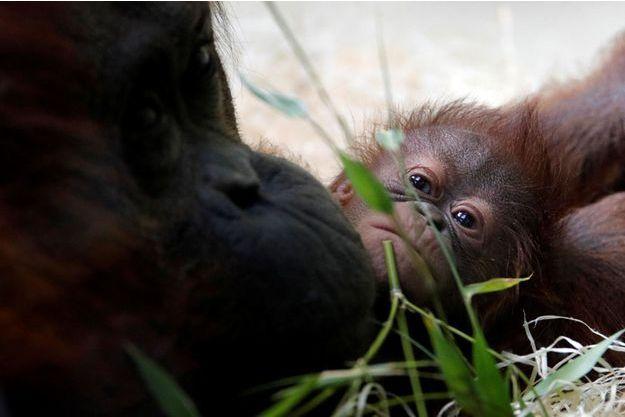 3fe74200c0dc4 Elle s'appelle Java : naissance d'un bébé orang-outan au Jardin des Plantes  de Paris
