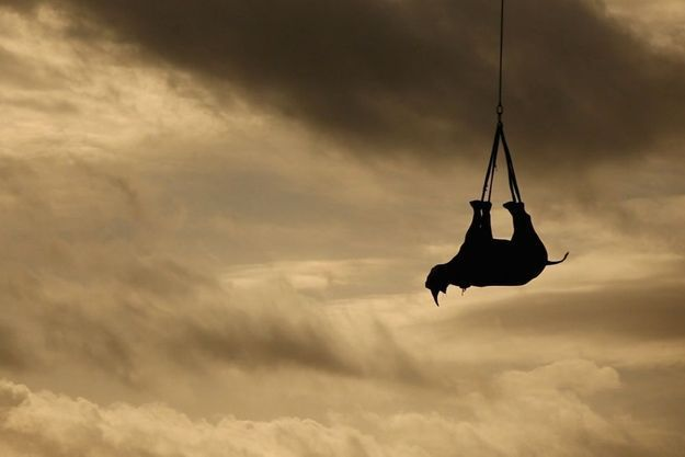 Un rhinocéros déplacé par hélicoptère
