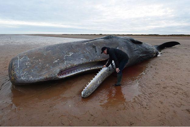 Un cachalot mort, au Royaume-Uni.